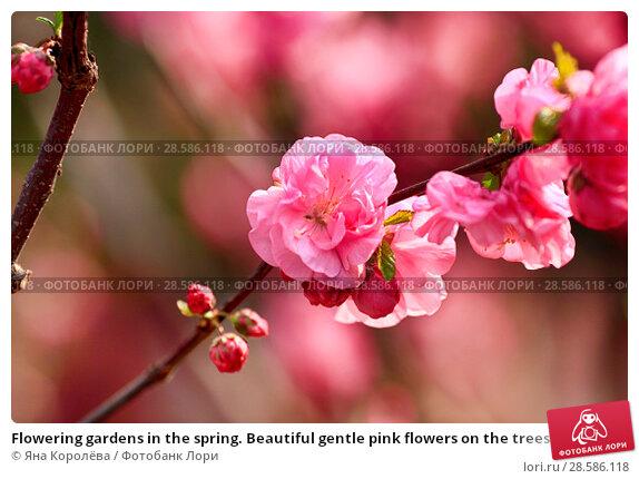 Купить «Flowering gardens in the spring. Beautiful gentle pink flowers on the trees», фото № 28586118, снято 3 апреля 2017 г. (c) Яна Королёва / Фотобанк Лори