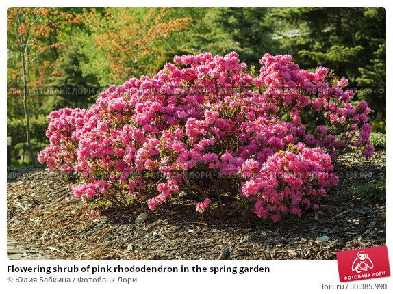 Купить «Flowering shrub of pink rhododendron in the spring garden», фото № 30385990, снято 11 мая 2015 г. (c) Юлия Бабкина / Фотобанк Лори