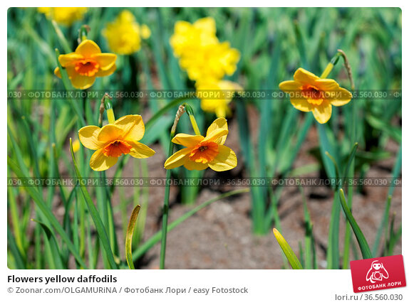 Flowers yellow daffodils. Стоковое фото, фотограф Zoonar.com/OLGAMURiNA / easy Fotostock / Фотобанк Лори
