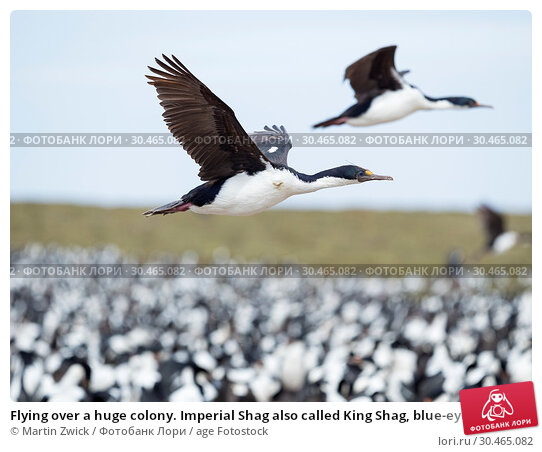 Flying over a huge colony. Imperial Shag also called King Shag, blue-eyed Shag, blue-eyed Cormorant (Phalacrocorax atriceps or Leucarbo atriceps). South America, Falkland Islands, January. Стоковое фото, фотограф Martin Zwick / age Fotostock / Фотобанк Лори