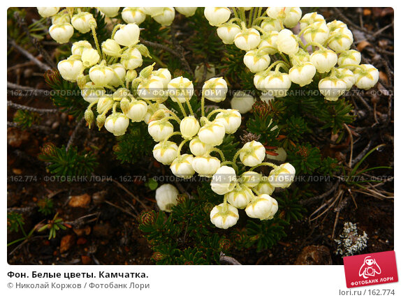 Фон. Белые цветы. Камчатка., фото № 162774, снято 27 июня 2007 г. (c) Николай Коржов / Фотобанк Лори