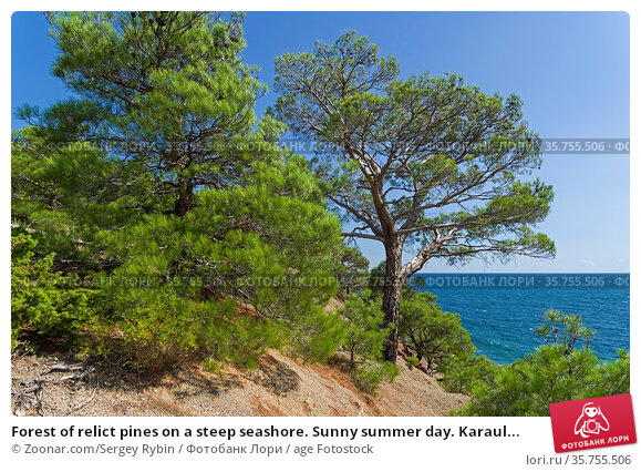 Forest of relict pines on a steep seashore. Sunny summer day. Karaul... Стоковое фото, фотограф Zoonar.com/Sergey Rybin / age Fotostock / Фотобанк Лори