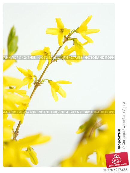 Форсития, фото № 247638, снято 9 апреля 2008 г. (c) Goruppa / Фотобанк Лори