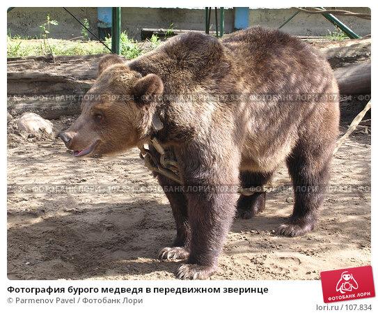 Фотография бурого медведя в передвижном зверинце, фото № 107834, снято 4 сентября 2004 г. (c) Parmenov Pavel / Фотобанк Лори