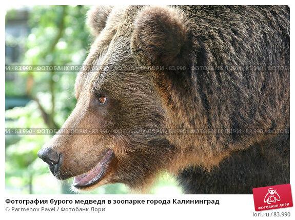 Купить «Фотография бурого медведя в зоопарке города Калининград», фото № 83990, снято 17 декабря 2017 г. (c) Parmenov Pavel / Фотобанк Лори