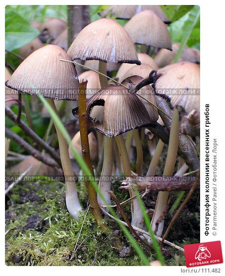 Купить «Фотография колонии весенних грибов», фото № 111482, снято 2 октября 2004 г. (c) Parmenov Pavel / Фотобанк Лори