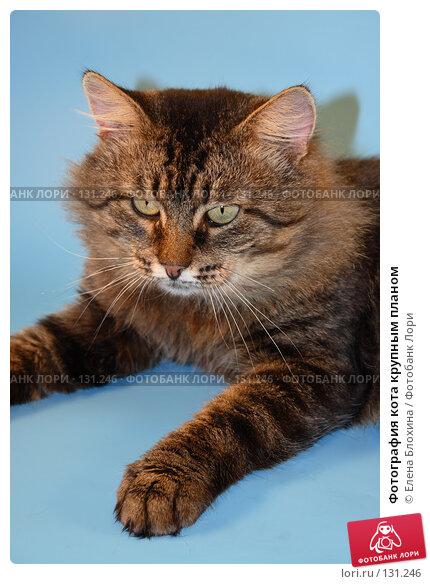 Купить «Фотография кота крупным планом», фото № 131246, снято 28 ноября 2007 г. (c) Елена Блохина / Фотобанк Лори