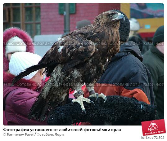 Фотография уставшего от любителей фотосъёмки орла, фото № 72502, снято 6 января 2006 г. (c) Parmenov Pavel / Фотобанк Лори