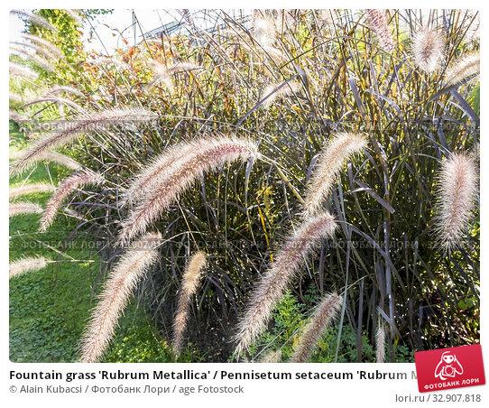 Fountain grass 'Rubrum Metallica' / Pennisetum setaceum 'Rubrum Metallica'. Стоковое фото, фотограф Alain Kubacsi / age Fotostock / Фотобанк Лори