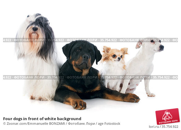 Four dogs in front of white background. Стоковое фото, фотограф Zoonar.com/Emmanuelle BONZAMI / age Fotostock / Фотобанк Лори