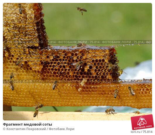 Фрагмент медовой соты, фото № 75814, снято 19 августа 2007 г. (c) Константин Покровский / Фотобанк Лори