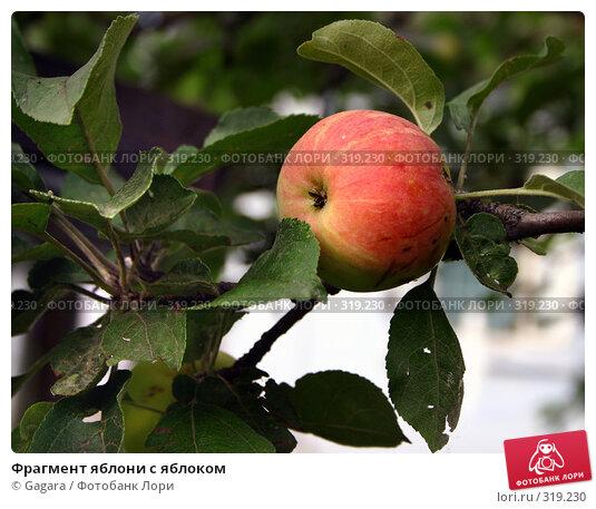 Фрагмент яблони с яблоком, фото № 319230, снято 4 декабря 2016 г. (c) Gagara / Фотобанк Лори