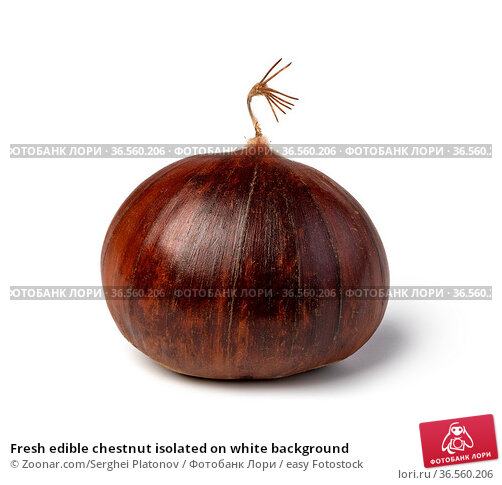 Fresh edible chestnut isolated on white background. Стоковое фото, фотограф Zoonar.com/Serghei Platonov / easy Fotostock / Фотобанк Лори