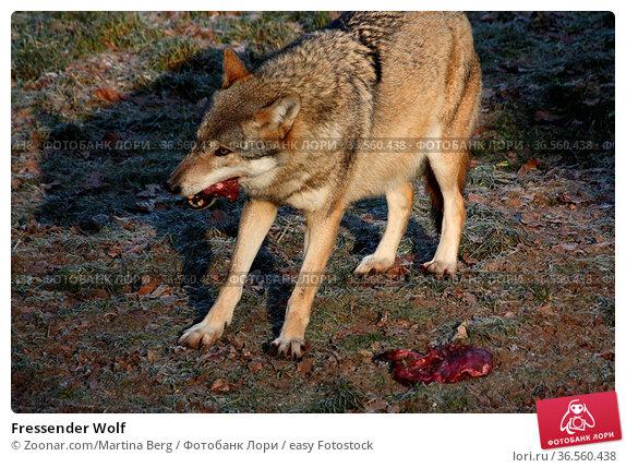 Fressender Wolf. Стоковое фото, фотограф Zoonar.com/Martina Berg / easy Fotostock / Фотобанк Лори