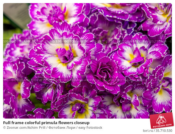 Full frame colorful primula flowers closeup. Стоковое фото, фотограф Zoonar.com/Achim Prill / easy Fotostock / Фотобанк Лори