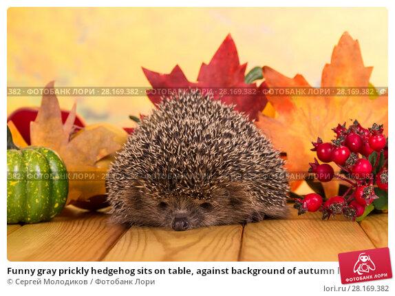 Купить «Funny gray prickly hedgehog sits on table, against background of autumn leaves», фото № 28169382, снято 3 сентября 2016 г. (c) Сергей Молодиков / Фотобанк Лори
