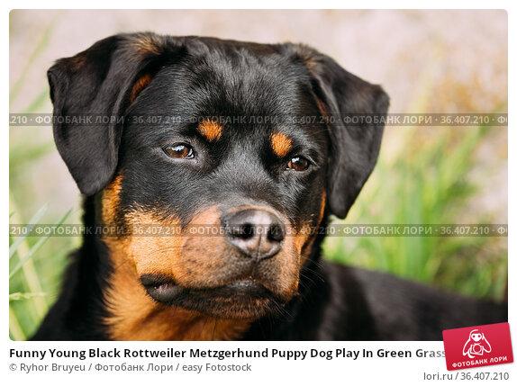 Funny Young Black Rottweiler Metzgerhund Puppy Dog Play In Green Grass... Стоковое фото, фотограф Ryhor Bruyeu / easy Fotostock / Фотобанк Лори