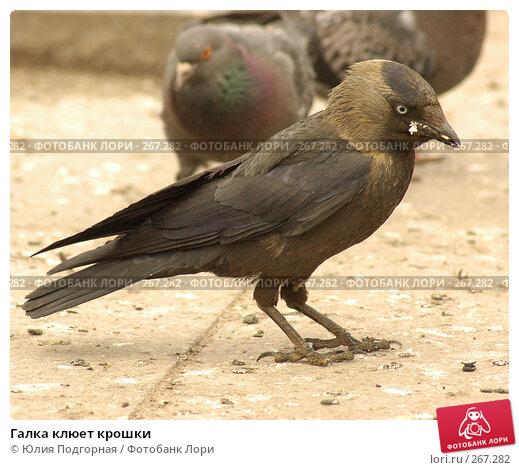 Галка клюет крошки, фото № 267282, снято 11 июня 2006 г. (c) Юлия Селезнева / Фотобанк Лори