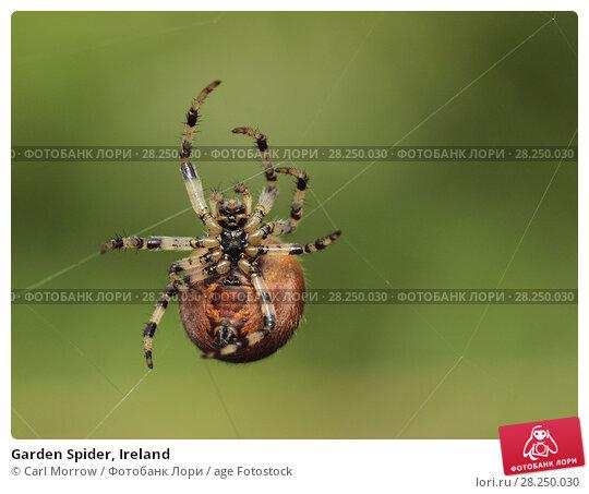 Купить «Garden Spider, Ireland», фото № 28250030, снято 26 сентября 2017 г. (c) age Fotostock / Фотобанк Лори