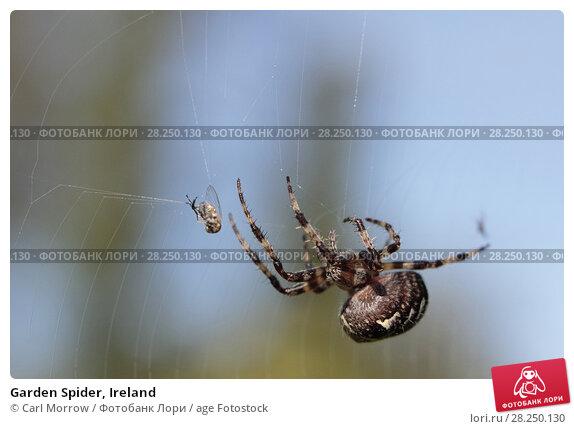 Купить «Garden Spider, Ireland», фото № 28250130, снято 17 сентября 2017 г. (c) age Fotostock / Фотобанк Лори