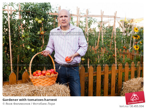 Gardener with tomatoes harvest. Стоковое фото, фотограф Яков Филимонов / Фотобанк Лори