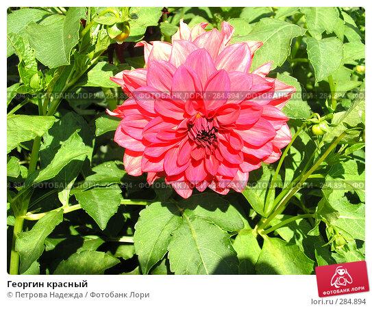 Георгин красный, фото № 284894, снято 25 августа 2006 г. (c) Петрова Надежда / Фотобанк Лори