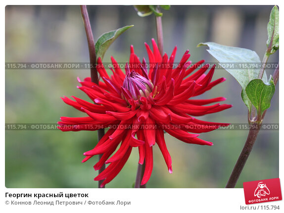 Георгин красный цветок, фото № 115794, снято 15 июля 2007 г. (c) Коннов Леонид Петрович / Фотобанк Лори