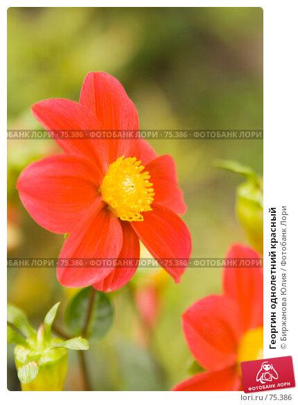 Купить «Георгин однолетний красный», фото № 75386, снято 19 августа 2007 г. (c) Биржанова Юлия / Фотобанк Лори