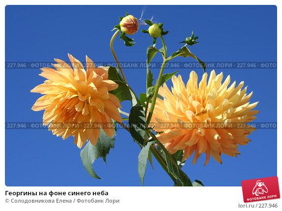 Георгины на фоне синего неба, фото № 227946, снято 15 августа 2007 г. (c) Солодовникова Елена / Фотобанк Лори