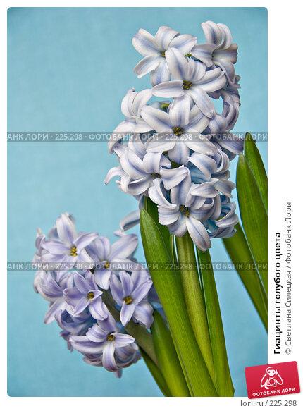 Купить «Гиацинты голубого цвета», фото № 225298, снято 17 марта 2008 г. (c) Светлана Силецкая / Фотобанк Лори