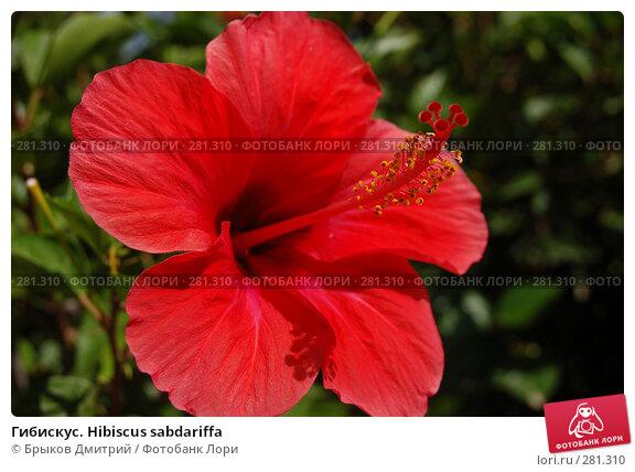 Гибискус. Hibiscus sabdariffa, фото № 281310, снято 29 июня 2007 г. (c) Брыков Дмитрий / Фотобанк Лори