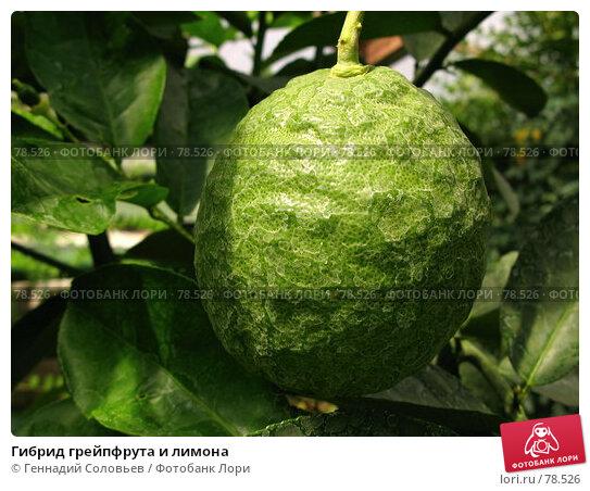 Гибрид грейпфрута и лимона, фото № 78526, снято 5 июля 2007 г. (c) Геннадий Соловьев / Фотобанк Лори