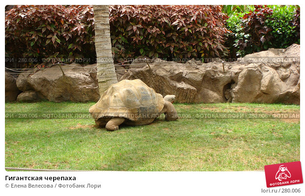 Гигантская черепаха, фото № 280006, снято 17 июня 2007 г. (c) Елена Велесова / Фотобанк Лори
