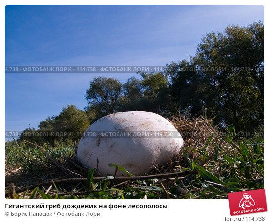 Гигантский гриб дождевик на фоне лесополосы, фото № 114738, снято 25 августа 2006 г. (c) Борис Панасюк / Фотобанк Лори