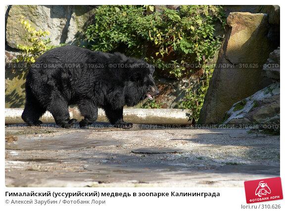 Гималайский (уссурийский) медведь в зоопарке Калининграда, фото № 310626, снято 22 сентября 2007 г. (c) Алексей Зарубин / Фотобанк Лори