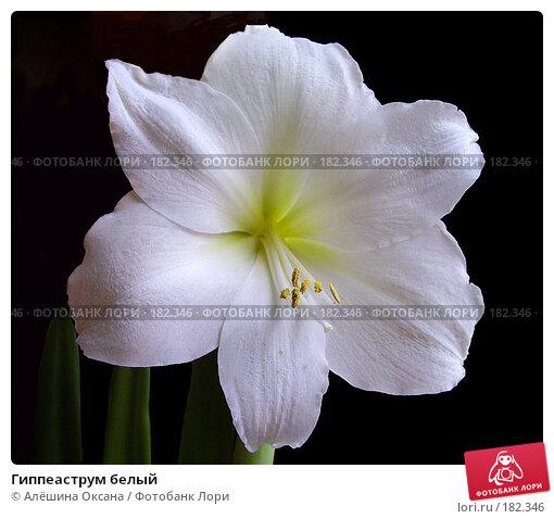 Гиппеаструм белый, эксклюзивное фото № 182346, снято 2 января 2008 г. (c) Алёшина Оксана / Фотобанк Лори