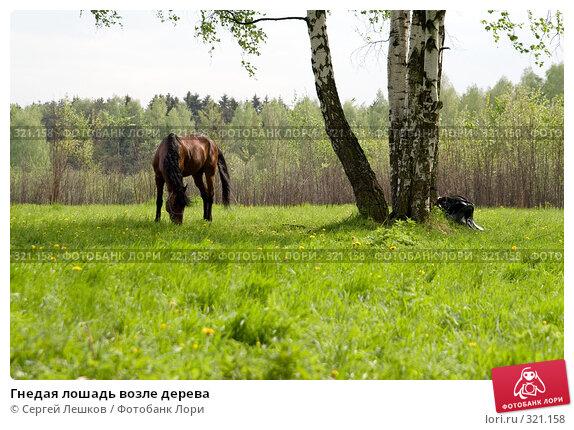 Гнедая лошадь возле дерева, фото № 321158, снято 18 мая 2008 г. (c) Сергей Лешков / Фотобанк Лори