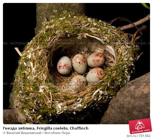 Гнездо зяблика, Fringilla coelebs, Chaffinch, фото № 731562, снято 2 июня 2007 г. (c) Василий Вишневский / Фотобанк Лори