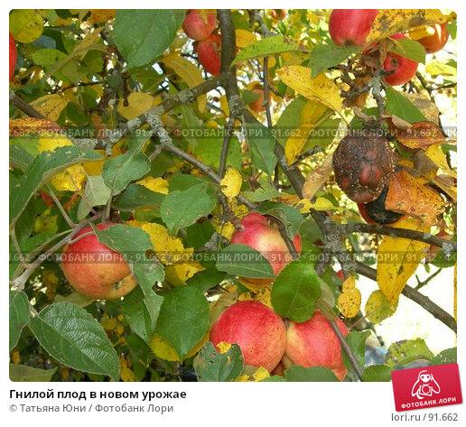 Гнилой плод в новом урожае, фото № 91662, снято 30 сентября 2007 г. (c) Татьяна Юни / Фотобанк Лори
