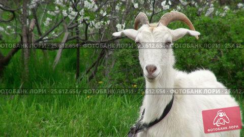 Купить «Goat on green meadow», видеоролик № 25612654, снято 3 февраля 2012 г. (c) Андрей Зык / Фотобанк Лори