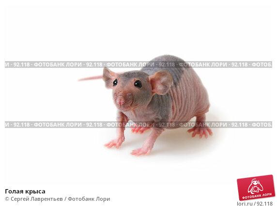 Голая крыса, фото № 92118, снято 23 сентября 2007 г. (c) Сергей Лаврентьев / Фотобанк Лори