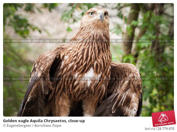 Купить «Golden eagle Aquila Chrysaetos, close-up», фото № 28779870, снято 8 мая 2018 г. (c) EugeneSergeev / Фотобанк Лори