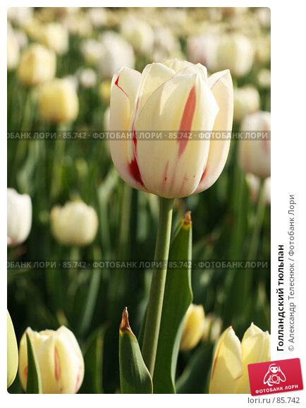 Голландский тюльпан, фото № 85742, снято 5 мая 2007 г. (c) Александр Телеснюк / Фотобанк Лори