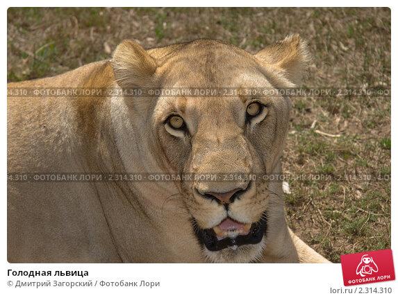 Голодная львица. Стоковое фото, фотограф Дмитрий Загорский / Фотобанк Лори