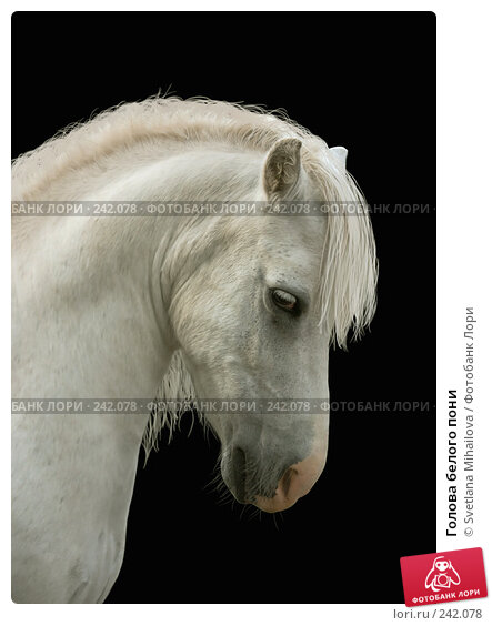 Голова белого пони, фото № 242078, снято 21 августа 2006 г. (c) Svetlana Mihailova / Фотобанк Лори
