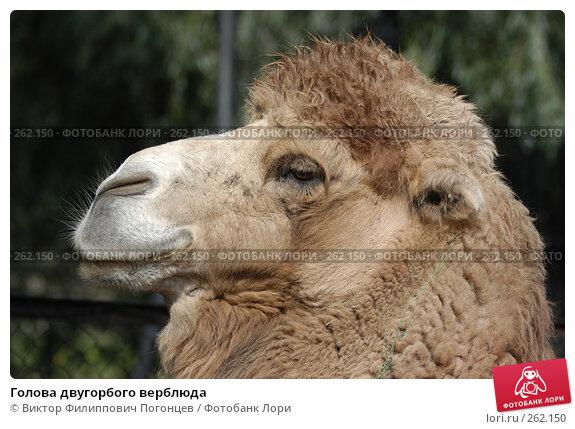 Голова двугорбого верблюда, фото № 262150, снято 18 сентября 2004 г. (c) Виктор Филиппович Погонцев / Фотобанк Лори