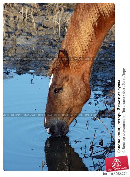 Купить «Голова коня, который пьет из лужи», фото № 262274, снято 6 ноября 2004 г. (c) Виктор Филиппович Погонцев / Фотобанк Лори