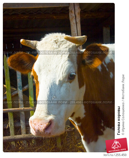 Купить «Голова коровы», фото № 255450, снято 29 апреля 2006 г. (c) Ирина Солошенко / Фотобанк Лори