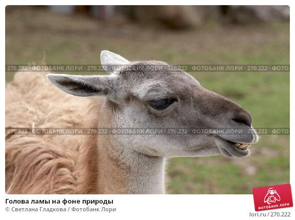 Голова ламы на фоне природы, фото № 270222, снято 19 апреля 2008 г. (c) Cветлана Гладкова / Фотобанк Лори