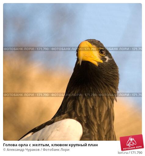 Голова орла с желтым, клювом крупный план, фото № 171790, снято 1 января 2008 г. (c) Александр Чураков / Фотобанк Лори